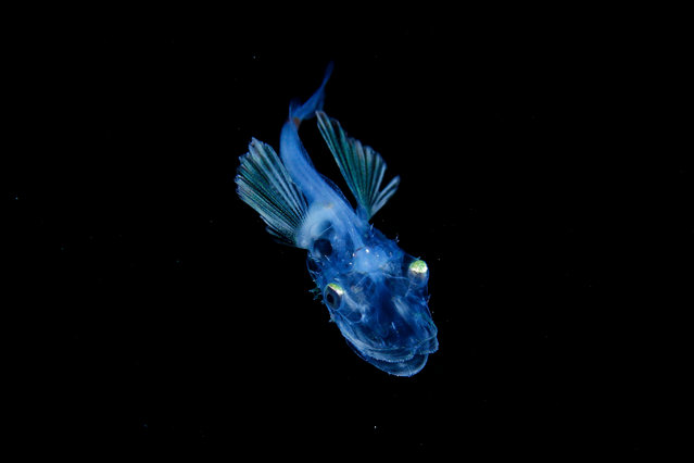 A Hoplichthys fish larva. (Photo by Ryo Minemizu/The Guardian)