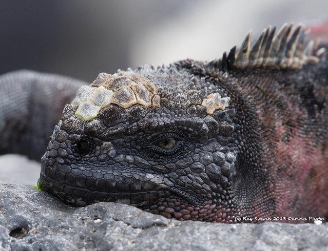 South America – The Galapagos; Marine Iguana. (Photo by Ray Swann)