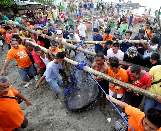 Residents and volunteers help remove a dead whale shark that was swept ashore Thursday, September 5, 2013 at the coastal township of Tanza, Cavite province south of Manila, Philippines. Officials at the Bureau of Fisheries and Aquatic Resources have yet to conduct a necropsy of the largest fish on the planet which was found off Manila Bay at the township where an oil spill occurred last month. (Photo by Bullit Marquez/AP Photo)
