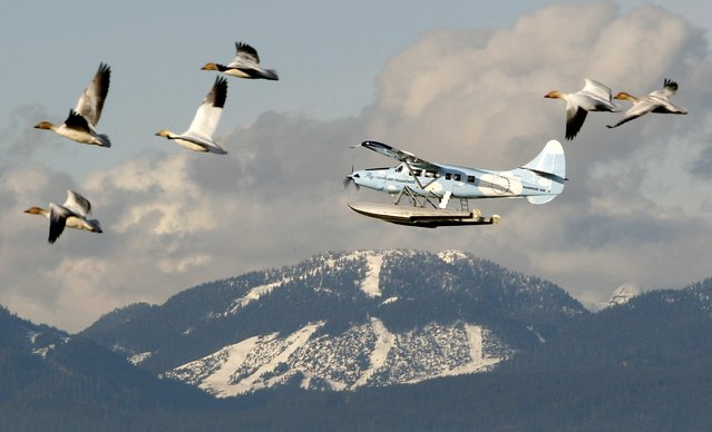 Snow geese and a float plane pass Cypress Mountain prior to the Vancouver 2010 Winter Olympic Games in a February 9, 2010 file photo. As eastern Canada and the United States endure record snowfalls and frigid temperatures, Western Canada is struggling with the opposite problem: an unseasonable lack of snow that is forcing some ski hills to shut early. (Photo by Chris Helgren/Reuters)