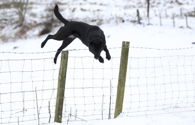 A dog jumps a fence near Loch Tay in Scotland, Britain January 17, 2016. (Photo by Russell Cheyne/Reuters)