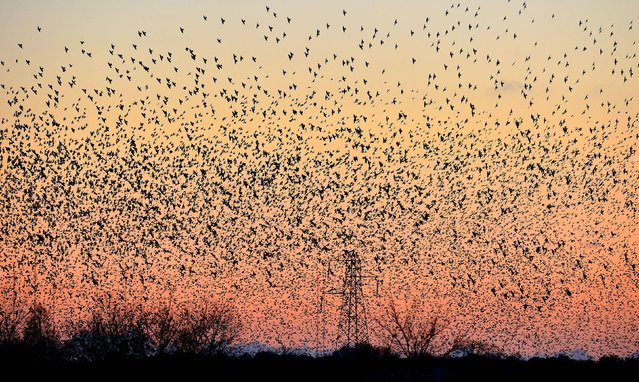 Recent unissued photo of thousands of starlings as they arrive to roost in the small village of Rigg, near Gretna, in the Scottish Borders, on November 20, 2013. The weight of the resting birds on power lines caused some power localised power outages in the village. Still one of the commonest of garden birds, its decline elsewhere puts it on the Red List of endangered species. (Photo by Owen Humphreys/PA Wire)