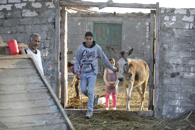 In this Friday, February 5, 2016 picture, Ahmed Ayman, 14, leads his donkey to her daily training in the Nile Delta village of Al-Arid, about 150 kilometers north of Cairo, Egypt.  She has leapt to fame in a small Egyptian village by defying her species' well-known stubbornness and jumping hurdles on command. (Photo by Amr Nabil/AP Photo)