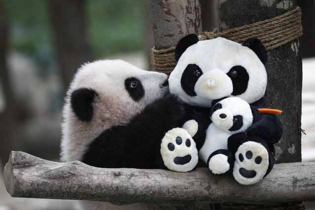 A 6-month old female giant panda cub, an offspring of Xing Xing, formerly known as Fu Wa and Liang Liang, formerly known as Feng Yi, plays with a soft-toy panda at the Giant Panda Conservation Center at the National Zoo in Kuala Lumpur, Malaysia, Thursday, February 18, 2016. Two giant pandas have been on loan to Malaysia from China for 10 years since May 21, 2014, to mark the 40th anniversary of the establishment of diplomatic ties between the two nations. (Photo by Joshua Paul/AP Photo)