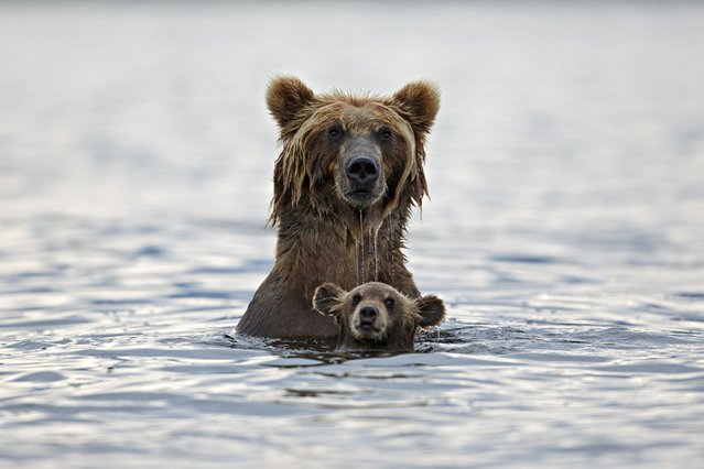 These little grizzly bear cubs had fun making a real splash when their mum took them for a dip to learn how to fish. Kamchatka, Russia. (Photo by Marco Mattiussi/Solent News & Photo Agency)