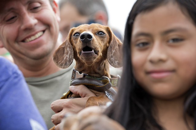 Fans gather in the bleachers to get a good seat of the racing action. Ashley Nolan loads her dog Hank Williams into the shoot before his race. The 18th Annual Buda County Fair and Weiner Dog Races was held at city park in Buda Sunday April 26, 2015 sponsored by the Lions Club. (Photo by Ralph Barrera/Austin American-Statesman)