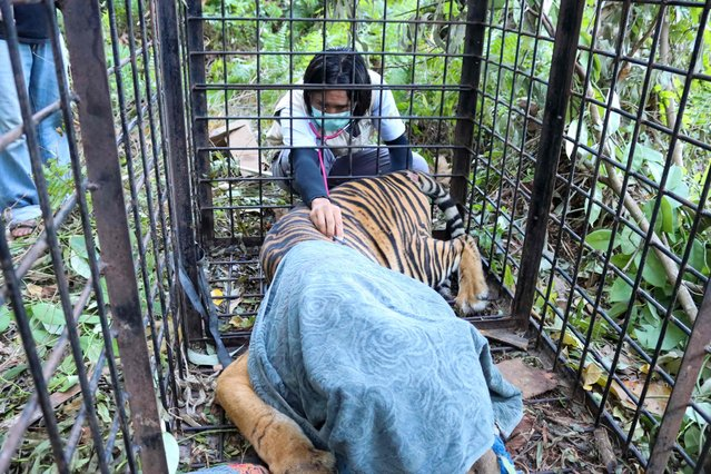This handout picture taken on September 9, 2021 and released by the Natural Resource Conservation Center shows officers preparing to evacuate a Sumatran tiger after being trapped in purpose as the tiger was roaming in residential areas in Siak, Sumatra Island. (Photo by  Natural Resource Conservation Center/AFP Photo)