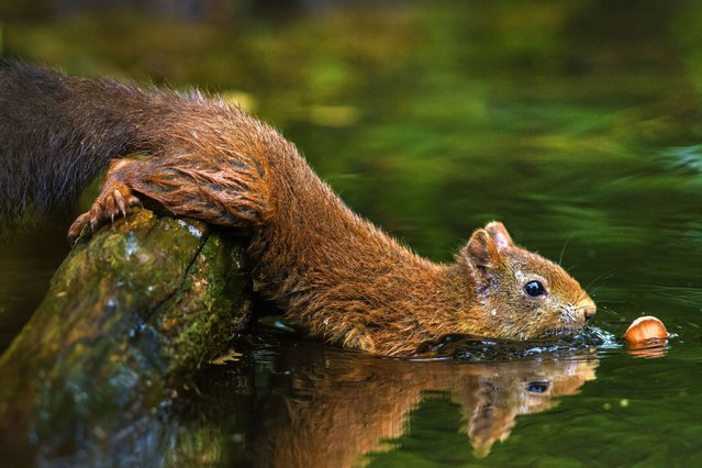In scenes similar to Pixar film Ice Age, this squirrel spots an acorn in a pond and when its just within his grasp – it sinks before his eyes. (Photo by Caters News)