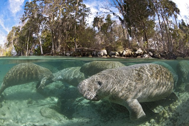 A group of manatees wallow in shallow water in Crystal River. (Photo by Alexander Mustard/Barcroft Media)