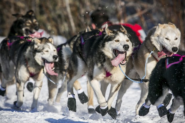 The final starter in the race, Sonny Lindner's team hurtles down the trail after all the other teams during the official restart of the Iditarod dog sled race in Willow, Alaska, on March 1, 2014. (Photo by Nathaniel Wilder/Reuters)