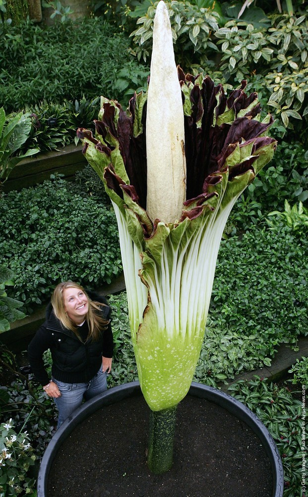 Biggest Flower In The World: The Titan Arum Or Amorphophallus Titanum