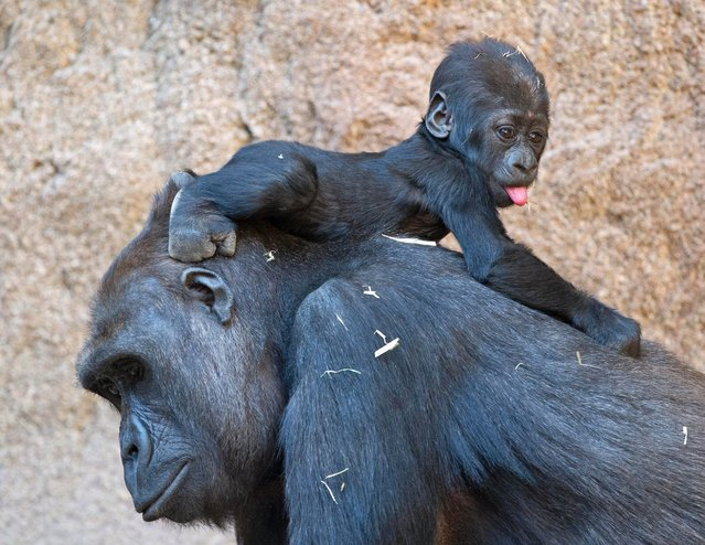 Baby gorilla Jengo relaxes on the back of his mother Kibara at the zoo in Leipzig, Germany, Thursday, March 20, 2014. The baby gorilla was born on Dec. 2, 2013. (Photo by Jens Meyer/AP Photo)