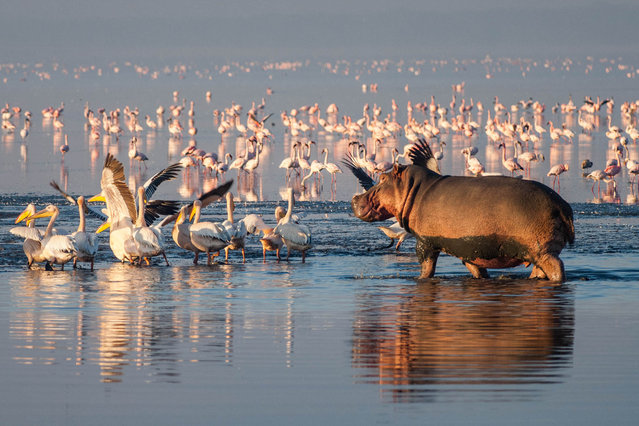 Hippopotamus and Pelicans at Lake Nakuru in Kenya on April 27, 2016. (Photo by Action Press/Startraksphoto.Com)
