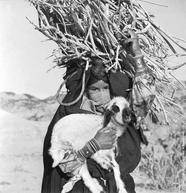 1966: A veiled Bedouin woman carrying a large bundle of sticks and a lamb in the Sinai Peninsula