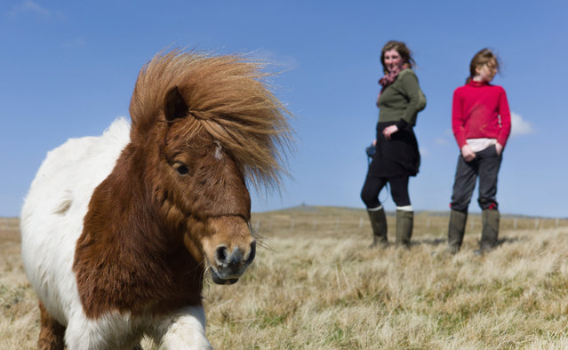 Yorkshire shepherdess Amanda Owen and her daughter, Raven, 13, head onto the moors to feed the horses at Amanda's farm Ravenseat on April 15, 2014 near Kirkby Stephen, England. Amanda Owen runs a 2,000 acre working hill farm in Swaledale which is one of the remotest areas on the North Yorkshire Moors. Working to the rhythm of the seasons the farm has over 900 Swaledale sheep that are now entering the lambing season as well as cattle and horses. (Photo by Ian Forsyth/Getty Images)