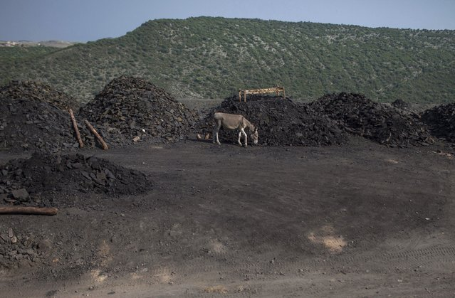 A donkey walks past piles of coal at a mine in Choa Saidan Shah in Punjab province May 5, 2014. Coal miners in Chao Saidan Shah use donkeys to transport coal from the depths of the mines to the surface. (Photo by Sara Farid/Reuters)