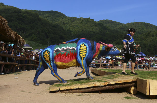A woman leads her painted buffalo onto a stage during a buffalo bodypainting competition in Jiangcheng county, Yunnan province May 18, 2014. Artists from eight countries painted on buffalos to compete for a 100,000 yuan ($16,042) prize reward during the competition on Sunday, according to local media. (Photo by Wong Campion/Reuters)