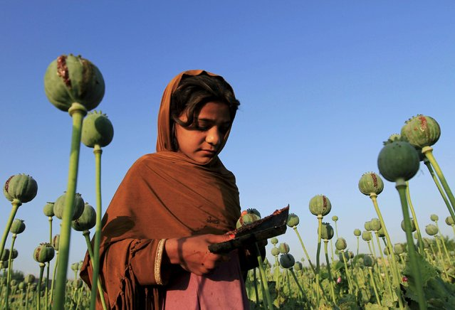 An Afghan girl gathers raw opium on a poppy field on the outskirts of Jalalabad April 28, 2015. (Photo by Reuters/Parwiz)