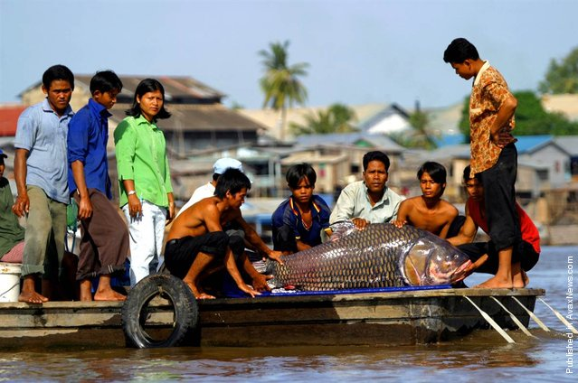 The endangered giant barb, Catlocarpio siamensis, is the largest cyprinid (carp) in the world, growing to an estimated 600 pounds. The Mekong River is home to more species of giant fish than any river on Earth. This 200 pound specimen was captured by fishermen as it migrated out of the Tonle Sap Lake and into the Mekong River on Nov. 15, 2003