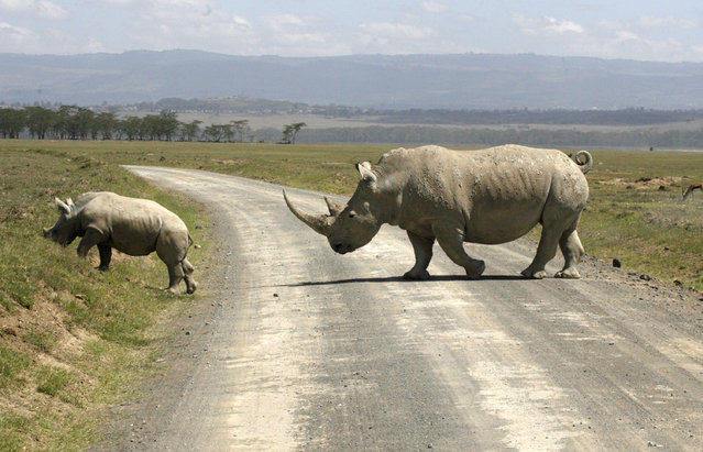 A white rhino and its baby cross a road on the drying shores of Lake Nakuru in Kenya's Rift Valley, December 18, 2009. (Photo by Thomas Mukoya/Reuters)