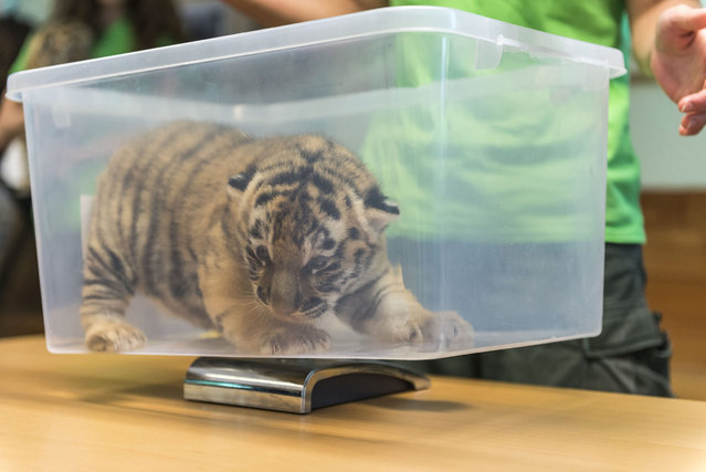 A Siberian tiger (Panthera tigris altaica) cub is weighed during a routine medical check in Veszprem Zoo in Veszprem, 108 kms southwest of Budapest, Hungary, 15 June 2016. The cub is one of the two that were born on zoo premises two weeks earlier. (Photo by Boglarka Bodnar/EPA)