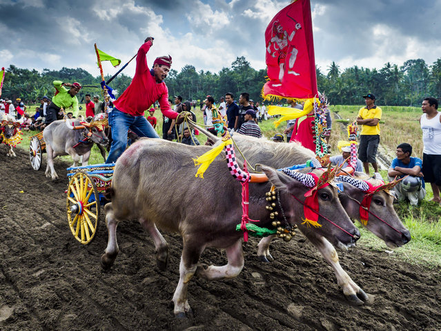 Teams of racing water buffalo at the finish line of a makepung (buffalo race) in Tuwed, Jembrana in southwest Bali, Indonesia on July 30, 2017. Makepung is buffalo racing in the district of Jembrana, on the west end of Bali. The Makepung season starts in July and ends in November. A man sitting in a small cart drives a pair of buffalo bulls around a track cut through rice fields in the district. It's a popular local past time that draws spectators from across western Bali. (Photo by Jack Kurtz/ZUMA Wire/Rex Features/Shutterstock)