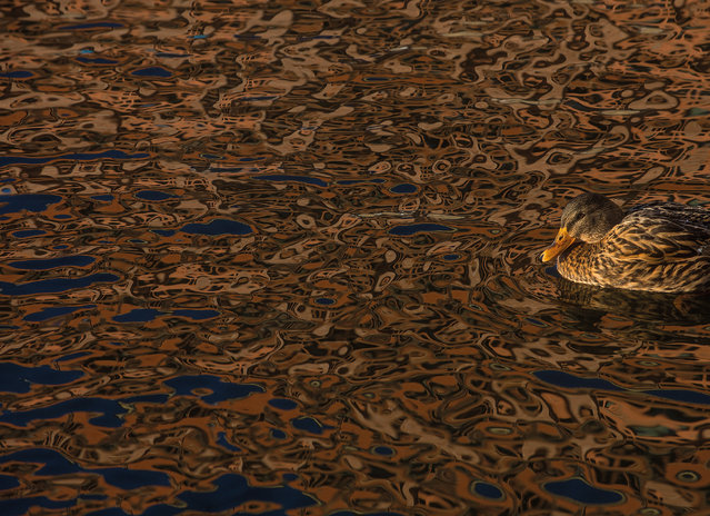 Camouflage by Daniel Stenberg, Sweden. Honourable mention, birds in the environment category. Mallard (Anas platyrhynchos), central Stockholm, Sweden. (Photo by Daniel Stenberg/2017 Bird Photographer of the Year Awards)