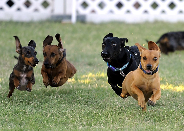 Chevy, front right, pulls to the front of the pack to win the Rescue the Animals Dachshund Races on Thursday, July 14, 2016, at the Nelson Park Festival Gardens in Abilene, Texas. (Photo by Tommy Metthe/Abilene Reporter-News via AP Photo)