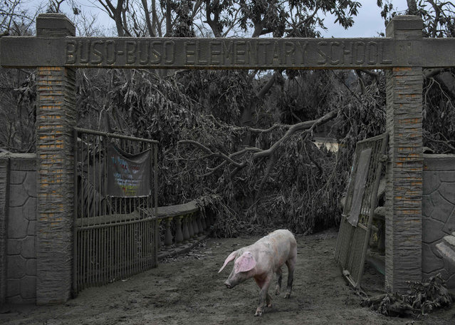 A pig walks before the entrance to the Buso Buso elementary school which was damaged by the eruption of the nearby Taal volcano, in Buso Buso on January 19, 2020. (Photo by Ed Jones/AFP Photo)
