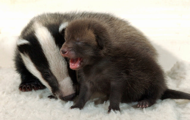 This orphaned badger cub has found an unlikely play pals – a tiny fox cubs who was abandoned by his mothers. The unlikely duo were all found abandoned by within weeks of each other. Tiny Frosty the badger, who is eight weeks old and weighs just two kilograms, was spotted cowering under a tree covered in frost by a dog walker. (Photo by Splash News and Pictures)