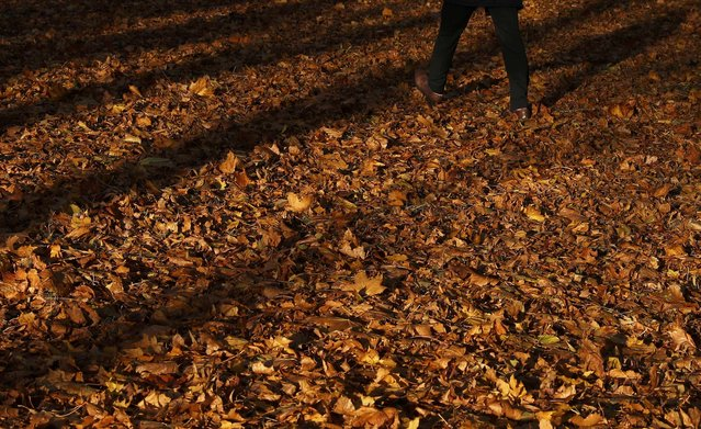 A man walks through fallen leaves on Victoria Park in Leicester, Britain, November 8, 2016. (Photo by Darren Staples/Reuters)
