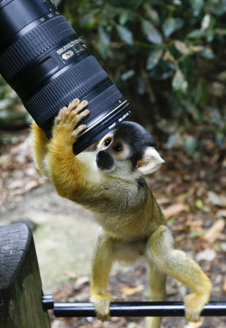 A squirrel monkey looks into a photographers lens during a photocall at London Zoo, Thursday, August 21, 2014. The Zoo held it's annual weigh-in where the vital statistics of animals were taken in an aid for keepers to detect pregnancies and check the animals general wellbeing. (Photo by Kirsty Wigglesworth/AP Photo)