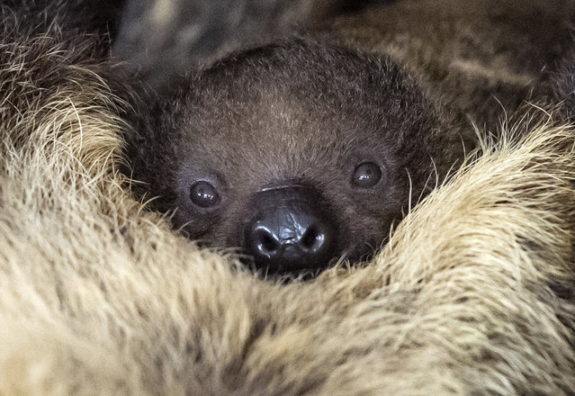 A baby sloth relaxes near the mother Charlotte at the zoo in Halle (Saale), central Germany, Tuesday, September 12, 2017. The baby, whose gender is not yet known, was born on Sept. 5, 2017, and weighs 586 grams. (Photo by Jens Meyer/AP Photo)