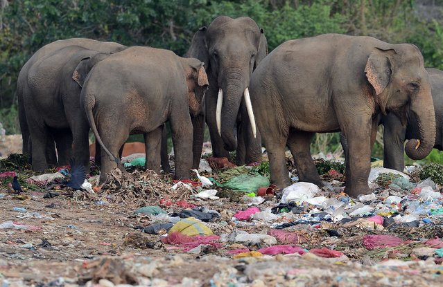 Wild elephants, including a tusker (C), rummage through garbage dumped at an open ground in the village of Digampathana in north- central Sri Lanka on August 19, 2017. Sri Lanka has banned the dumping of garbage at open fields and near wildlife reserves, but the practice continues. (Photo by Lakruwan Wanniarachchi/AFP Photo)
