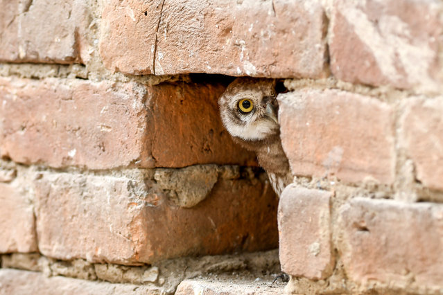 A spotted owlet takes a rest in a putlock hole of a wall in Kathmandu, Nepal on May 10, 2020. (Photo by Prakash Mathema/AFP Photo)