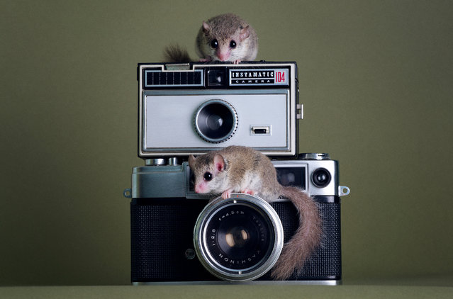 """The most difficult aspect of this shoot was to get each African pygmy dormouse – also known as micro squirrels – on to a separate camera. Once in place, they needed to remain still long enough to get them both in the frame and looking at me. Often solitary, they naturally wanted to move away"". (Photo by David Yeo/Leica Studio Mayfair/The Guardian)"