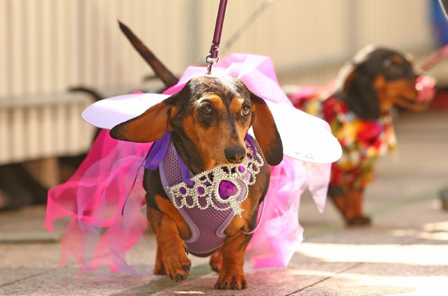 Mini dachshunds compete in the Hophaus Southgate Inaugural Best Dressed Dachshund competition on September 19, 2015 in Melbourne, Australia. (Photo by Scott Barbour/Getty Images)