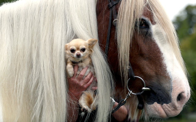 """A Chihuahua looks through a horse's mane during a photo session for the trade fair """"Horse and Dog"""" in Dortmund, Germany, October 9, 2014. Around 370 horses and 10,000 dogs will be presented at the expo in Westfalenhalle from 17 to 19 October. (Photo by Ina Fassbender/EPA)"""
