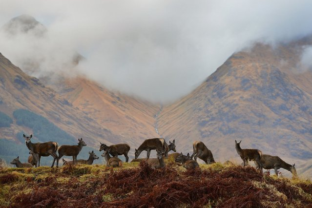 Red deer graze as the rutting season draws to a close on November 8, 2012 in Glen Etive, Scotland. (Photo by Jeff J. Mitchell)