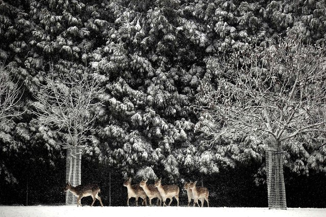 Deer are seen in a pasture as snow covers the landscape near Schinnen, Netherlands, December 17, 2010. (Photo by Ermindo Armino/Associated Press)