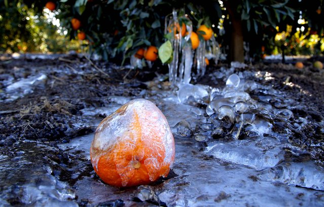 Ice covers an orange at an orange grove in Redlands, California, January 15, 2013. A cold snap that has California farmers struggling to protect a $1.5 billion citrus crop has slowly started to ease, though frigid temperatures were still the norm Tuesday morning throughout the state and across other parts of the West. (Photo by Jae C. Hong/Associated Press)