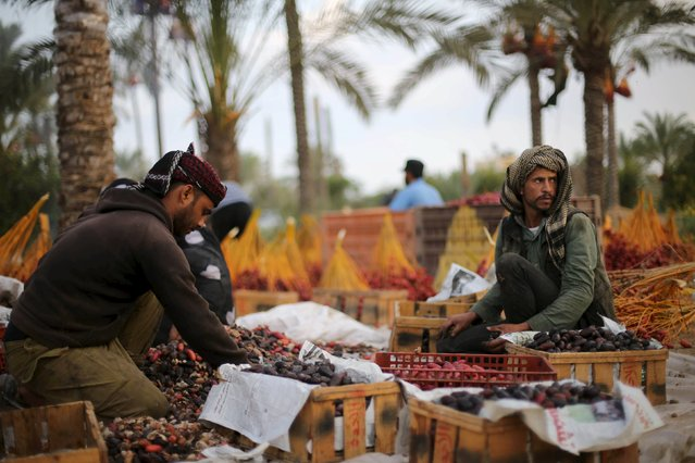 Palestinian farmers sort freshly picked dates during harvest season in Khan Younis in the southern Gaza Strip October 4, 2015. (Photo by Ibraheem Abu Mustafa/Reuters)