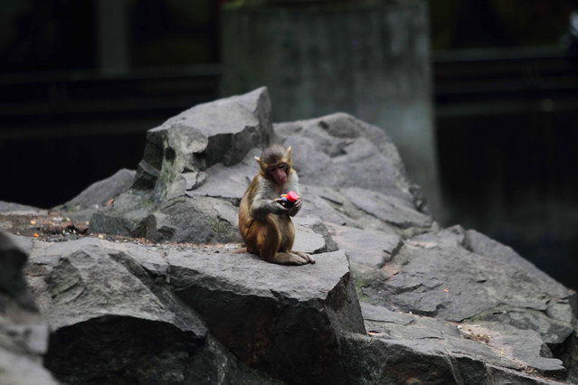 This picture taken on November 1, 2014 shows a monkey playing with a toy inside its enclosure at a zoo in Hangzhou, in eastern China's Zhejiang province. (Photo by AFP Photo)
