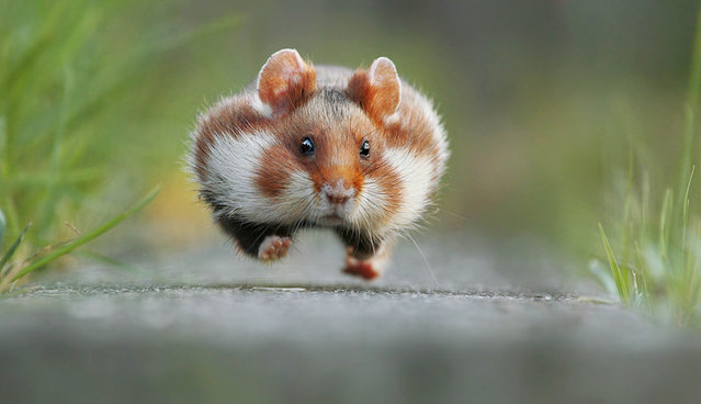 A guinea pig. (Photo by Julian Rad/Comedy Wildlife Photography Awards/Mercury Press)