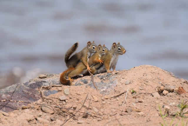 Cute family of squirrels pictured on a family outing by Yvette Richard for the Comedy Wildlife Photo Awards 2016, Canada, June, 2015. (Photo by Yvette Richard/Barcroft Images/Comedy Wildlife Photo Awards)