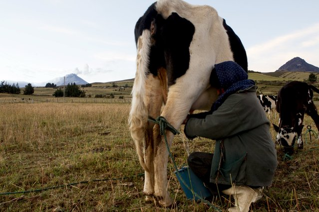 Ines Changoluisa milks her cow in the northern outskirts of the Cotopaxi Volcano, one of the world's highest active volcanoes, at El Pedregal, in Ecuador, October 22, 2015. (Photo by Guillermo Granja/Reuters)