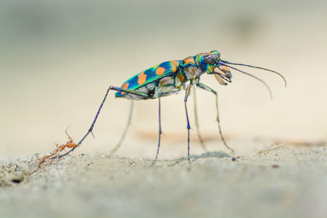 """Winner – Portfolio Award: The last bite by Ripan Biswas, India. These two ferocious predators don't often meet. The giant riverine tiger beetle pursues prey on the ground, while weaver ants stay mostly in the trees – but if they do meet, both need to be wary. """"The beetle kept pulling at the ant's leg"""", says Biswas, """"trying to rid itself of the ant's grip, but it couldn't quite reach its head"""". (Photo by Ripan Biswas/Wildlife Photographer of the Year 2020)"""