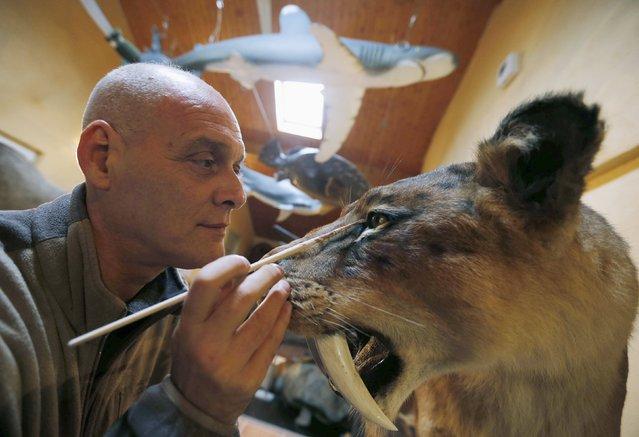 Belgian animal sculptor Emmanuel Janssens Casteels works on a replica of a Smilodon, an extinct genus of machairodont felid, in his workshop in Prayssas December 3, 2014. (Photo by Regis Duvignau/Reuters)