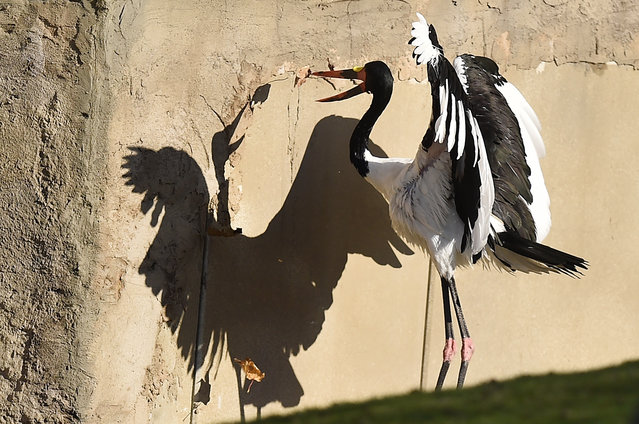 A saddle-billed stork casts  a  shadow  as it catches a falling leaf on a sunny autumnal  Tuesday, October 27, 2015 at the zoo in Gelsenkirchen, Germany. (Photo by Martin Meissner/AP Photo)