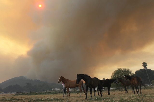Horses stand while a main fire front approaches the Blackiston Ranch as the Springs fire continues to grow on May 3, 2013 near Camarillo, California. The wildfire has spread to more than 18,000 acres on day two and is 20 percent contained. (Photo by David McNew/AFP Photo)